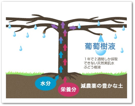 葡萄樹液ジェル 口コミ 効果 ブドウ樹液 成分